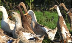 Runner ducks on the farm Gallery