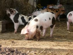 Piglets  Gallery